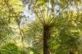 Giant tree fern closeup Royalty Free Stock Photo