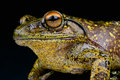 Giant tree frog species madagascar Stock Photo