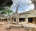 Giant trees in angkor wat Royalty Free Stock Images