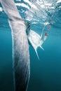 Giant Trevally Big Fish Tail Royalty Free Stock Photo