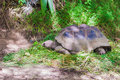 Giant turttle in seychelles feeding on fome grass Stock Image