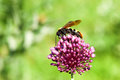 Giant wasp (Scolia maculata) Royalty Free Stock Image