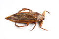 Giant water bug Royalty Free Stock Images