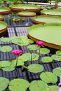 Giant Water Lilies And Lotuses Royalty Free Stock Photo