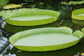 Giant Water Lilies Royalty Free Stock Photo
