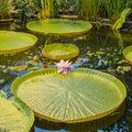 Giant water lilly Royalty Free Stock Photo