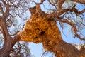 Giant Weaver Bird Nests In Afr...