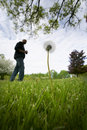 Giant weed in lawn Stock Image