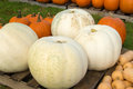 Giant white pumkins for sale at a locale virginia farm Royalty Free Stock Photos