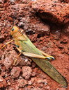 Giant yellow orange grasshopper closeup el salvador a brightly coloured rests near a thermal vent on a volcano in central america Stock Images
