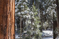 Giants sequoias i sequoia grove in the mariposa area of yosemite snowy trees view and beautiful view Royalty Free Stock Photo