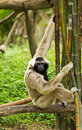 Gibbon Royalty Free Stock Photos