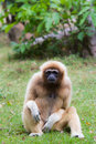 Gibbon Photos stock