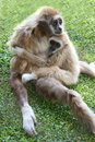 Gibbon ape and baby white handed mother with it s young offspring Royalty Free Stock Image