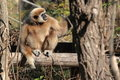 Gibbon Blanc-remis Images libres de droits