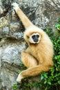 Gibbon in chiangmai zoo chiangmai Thailand Royalty Free Stock Photo