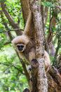 Gibbon in chiangmai zoo thailand city Stock Photo