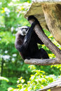 Gibbon in chiangmai zoo thailand city Stock Photos