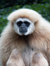 Gibbon close up in zoo Stock Image
