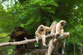Gibbon family Stock Images