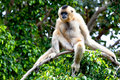 Gibbon of golden cheeks, Nomascus gabriellae Royalty Free Stock Image