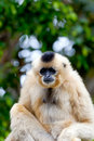Gibbon of golden cheeks, Nomascus gabriellae Royalty Free Stock Images