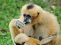 Gibbon in green nature thailand Royalty Free Stock Image