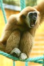 Gibbon lar shouting showing teeth Royalty Free Stock Image