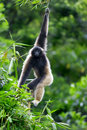 Gibbon monkey Stock Photography