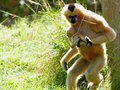 Gibbon monkey carrying baby mother northern white cheeked nomascus offspring in zoo miami south florida Stock Photos