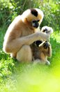 Gibbon monkey feeding baby mother northern white cheeked nomascus sitting on the ground and her offspring in zoo miami south Royalty Free Stock Photo