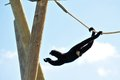 Gibbon monkey (Nomascus) swinging on rope Royalty Free Stock Photo