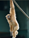Gibbon monkey playing on rope lar or a white handed hylobates lar plays a in a zoo Stock Photo