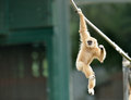 Gibbon monkey playing on rope lar or a white handed hylobates lar plays a in a zoo Royalty Free Stock Image