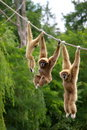 Gibbon monkeys Stock Photography
