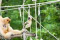 Gibbon mother and baby Stock Photos