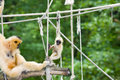 Gibbon mother and baby Royalty Free Stock Image