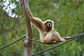 Gibbon remis blanc Photos stock
