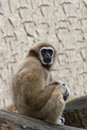 The gibbon sits having reflected in a zoo Royalty Free Stock Image
