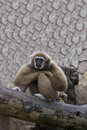 The gibbon sits having reflected in a zoo Royalty Free Stock Images