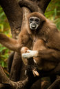 Gibbon in a tree sticking out his tongue Stock Image