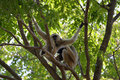 Gibbon on tree at the zoo in thailand Royalty Free Stock Photo