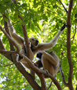 Gibbon on tree at the zoo in thailand Royalty Free Stock Image