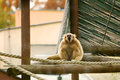 Gibbon in zoo a scream oppening his mouth showing his canines and sitting on wooden beam construction a Royalty Free Stock Photography