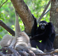 Gibbon in zoo at the thailand Royalty Free Stock Photos