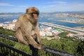 Gibraltar Ape Royalty Free Stock Photo