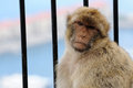 Gibraltar ape Royalty Free Stock Photo