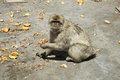 Gibraltar Barbary ape Royalty Free Stock Photo