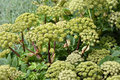 Gigant Hogweed Royalty Free Stock Photo