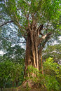 Gigantic ficus benghalensis in tropical forest thailand Stock Image